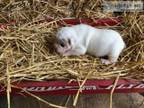 Olde English Bulldogge Male Puppy - White W Merle