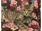Adopt Paddy a Tabby