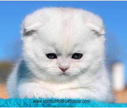 Scottish fold kitten is a Male Scottish Fold Kitten For Sale in Dallas TX