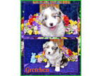 Australian Shepherd Puppy for sale in Belen, NM, USA