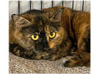 Adopt PECAN and her Friends a Domestic Short Hair