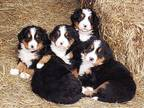 Bernese Mountain Dog Puppy for sale in Victor, MT, USA