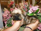 Brussels Griffon Puppy for sale in Poplarville, MS, USA