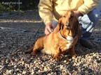 Basset Hound Puppy for sale in Comstock, NE, USA
