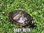 Baby Ruth Is A 45yr Old Female 8 In Redeared Slider Who Was Surrendered To Us A Few Months Ago Shes Been Patiently Waiting For Applications To Come In