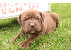 Alapaha Blue Blood Bulldog Puppy for sale in Goshen, IN, USA