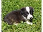 Cardigan Welsh Corgi Puppy for sale in Ashville, AL, USA