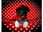 Mutt Puppy for sale in Tremonton, UT, USA