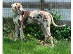 Great Dane Puppy for sale in Alamosa, CO, USA