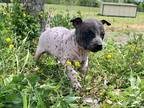 American Hairless Terrier Puppy for sale in Franklin, KY, USA