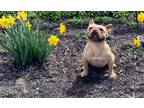 French Bulldog Puppy for sale in Nappanee, IN, USA