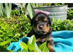 Rottweiler Puppy for sale in Springfield, MO, USA
