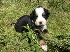 Bernese Mountain Dog Puppy for sale in Halifax, VA, USA