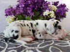 Great Dane Puppy for sale in Grabill, IN, USA