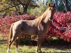Red Roan TWH