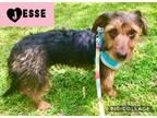 Adopt Jesse A Dachshund, Terrier