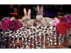 Adopt Nestle and Cocoa a Beveren, Bunny Rabbit