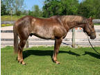 Cool Colored Great Minded Gelding