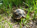 Adopt Sulcata Tortoise a Tortoise reptile, amphibian, and/or fish in Christmas