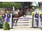 16.3 Show jumper/Hunter/Eq ring cross-over mare