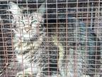 Adopt a Brown Tabby Domestic Longhair / Mixed (long coat) cat in Houston