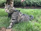Adopt Olivia a Gray, Blue or Silver Tabby Domestic Shorthair / Mixed (short