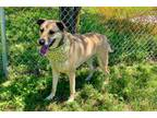 Adopt SASHA a Tan/Yellow/Fawn German Shepherd Dog / Mixed dog in Murfreesboro