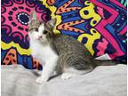 Adopt Bunny a Gray, Blue or Silver Tabby Domestic Shorthair (short coat) cat in