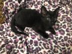 Adopt Toothless a All Black Domestic Shorthair cat in Tucson, AZ (28408956)