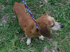 Adopt EMMA a Brown/Chocolate - with White Dachshund / Mixed dog in Doral