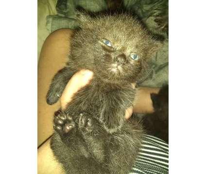 Munchkins kitties is a Female Munchkin Kitten For Sale in Norwalk OH