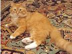 Adopt Tiger a Orange or Red Domestic Longhair / Domestic Shorthair / Mixed cat
