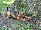 Adopt Gage a Wirehaired Terrier, Bloodhound