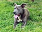 Adopt BLUE BOY a Gray/Silver/Salt & Pepper - with White Pit Bull Terrier / Mixed