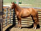Working Cow Horse One Time Pepto x HBC Bred Quarter Horse yearling filly