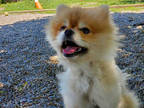 Adopt LEO a Tan/Yellow/Fawn Pomeranian / Mixed dog in Toronto, ON (28464343)