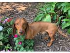 CITY STATE Marietta Georgia NAME Chase AGE 1yr 9 Mons DOB 9132018 SEX Male WEIGHT 116lbs COLOR Red COAT Smooth UP TO DATE Yes SPAYEDNEUTERED Yes DATE