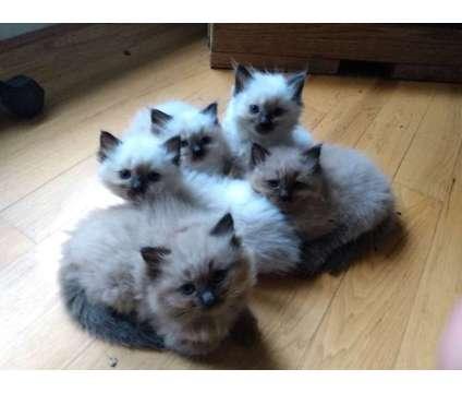Ragdoll Kittens is a Ragdoll Kitten For Sale in Carnation WA