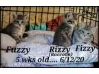 Adopt Fizzy. Fuzzy. Fizzy rizzy a American Shorthair