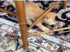 Adopt Killer (male young kitten.aka cutie) a Orange or Red Tabby Domestic