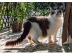 Adopt Abbi a Cream or Ivory (Mostly) Himalayan / Mixed (long coat) cat in