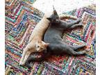 Adopt Clyde (M, grey) and Bonnie (F, orange tabby) a Russian Blue