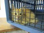 Adopt *MEGAN a Orange or Red Tabby Domestic Mediumhair / Mixed (medium coat) cat