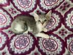 Adopt Pearl a Gray, Blue or Silver Tabby Domestic Shorthair (short coat) cat in