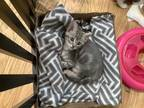 Adopt DARRELL a Gray, Blue or Silver Tabby Domestic Shorthair / Mixed (short