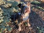Adopt Nadine a Red/Golden/Orange/Chestnut - with White Pit Bull Terrier / Mixed