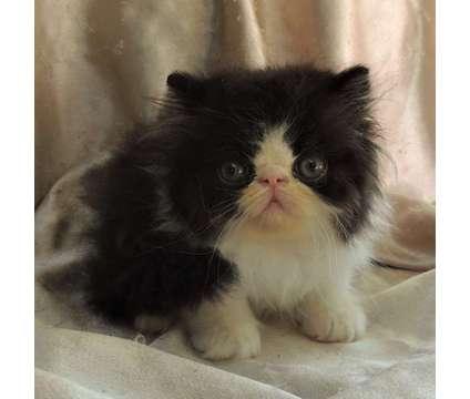 PERSIAN Kitten Black & White Female READY TO GO is a Black, White Female Persian Kitten For Sale in Middleboro MA
