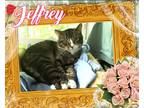 Adopt JEFFREY a Gray, Blue or Silver Tabby Domestic Shorthair (short coat) cat