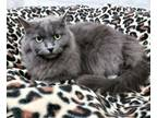 Adopt Mystique a Domestic Long Hair, Persian