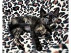 Adopt Pepper Potts a Domestic Short Hair